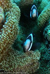 BD-090924-Bunaken-9243781-Amphiprion-polymnus-(Linnaeus.-1758)-[Saddleback-clownfish].jpg